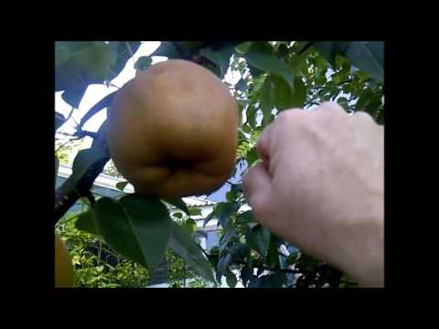 Picking Asian Pears