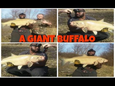 A Giant Buffalo Fish