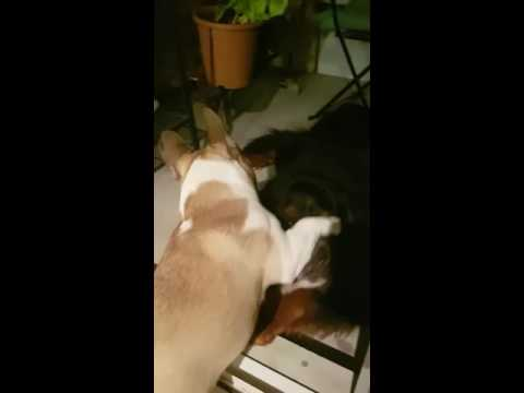 French Bulldog and bernese Mountain dog in love