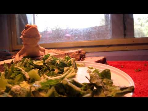 How to get a bearded dragon to eat greens (read description below)