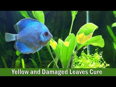 Cure Yellow and Damaged Leaves in Aquatic Plants