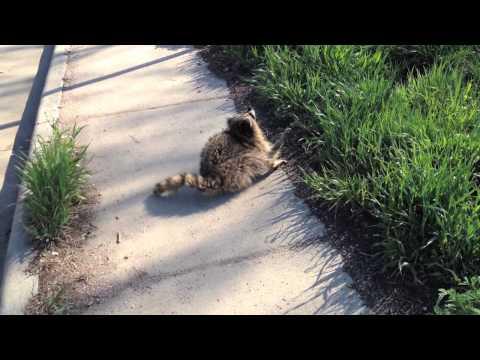 Cute but terrifying: Animal Control nabs Rabid Raccoon