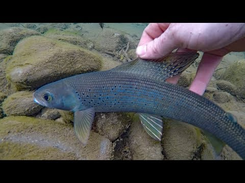 How to catch grayling - Fishing for arctic grayling - fly fishing and spinning