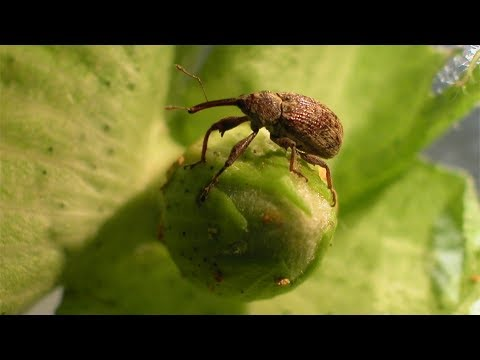 Banished Boll Weevils