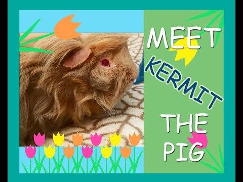 Petting Kermit the Guinea Pig