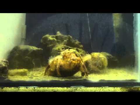 Hermit crab stealing an anemone