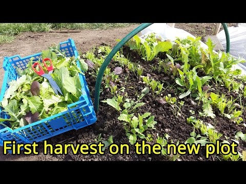 First harvest on the new plot