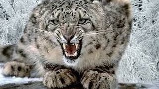 Silent Roar The Snow Leopard   National Geographic Documentary 2016 HD