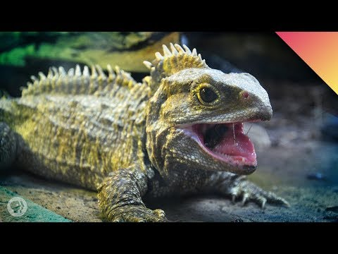 Tuatara All The Way Down – Face To Face With A Living Fossil!