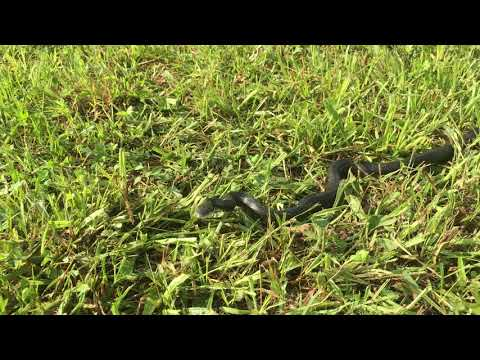If You Find A Black Snake While Mowing Don't Kill It Here's Why