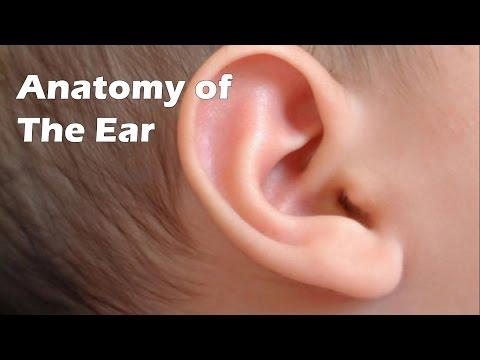 Pinna Anatomy Of External Ear Ear Nose Throat Pinna Outer Ear