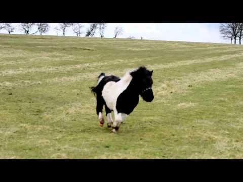 Shetland pony for sale (Freddie)