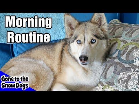My Dog's Morning Routine | Huskies Morning Routine 2018