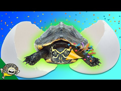 New Turtle Eggs! Thank you! 40,000 Subscribers Musk Turtle Breeding Success