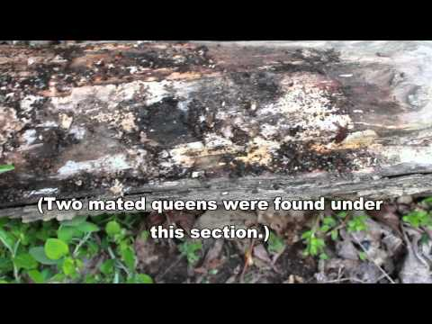 Searching for Queen Ants - Wood-Dwelling Camponotus Species