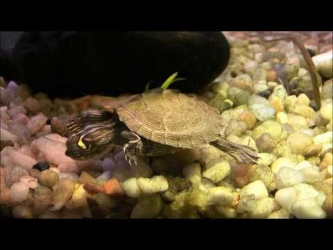 Turtle Tank with DIY Home Made Basking Platform / Turtle Topper - 40 Gallon