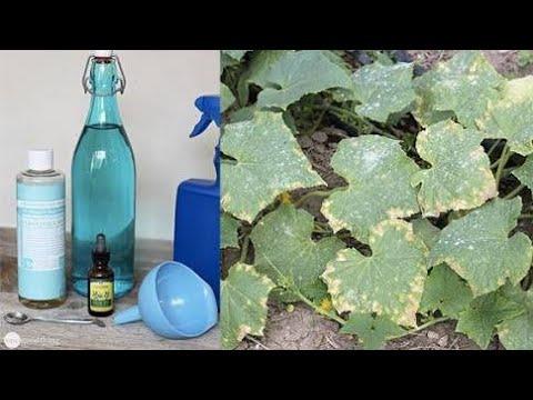 137.घर पर बनायें पौधों के लिए (कवकनाशी) फंगीसाइड  /Homemade organic Fungicide for plants