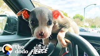 Watch this Teeny Baby Grow Up Into the Most Gorgeous Pittie Ever!  | The Dodo Little But Fierce