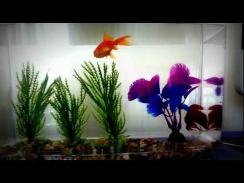 Betta and Goldfish (happy)