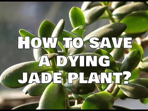 How To Save A Dying Jade Plant?
