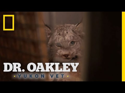 Lynx vs. House Cat Differences | Yukon Do It