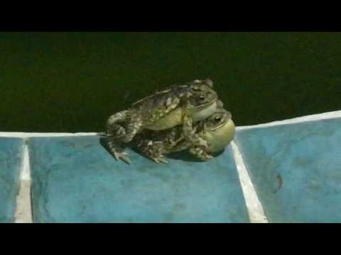 Noisy Frogs  All Night Long ?