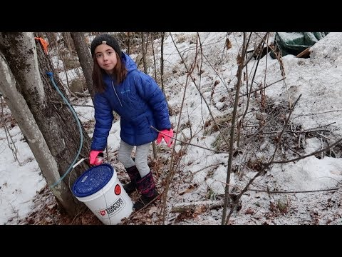 Collecting Sap From Our Maple Trees for Our First Boil