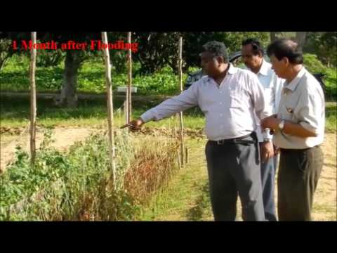 ICAR-IIHR NICRA Field trials on grafted plants under flood situation