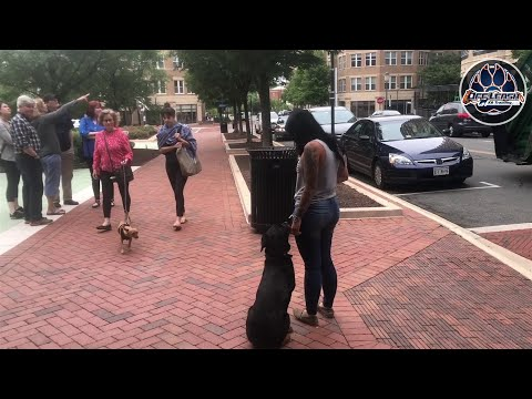 5 Month Old Rottweiler, Thor   Amazing Obedience   Northern Virginia Dog Trainers