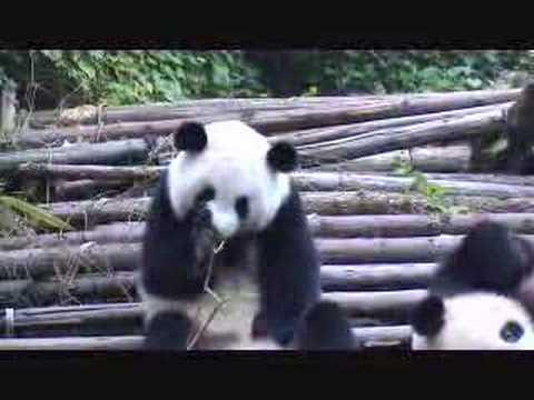 Panda sneezing