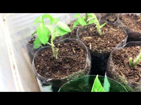 Growing Hot Peppers & Misc.. 2017 Ep 03