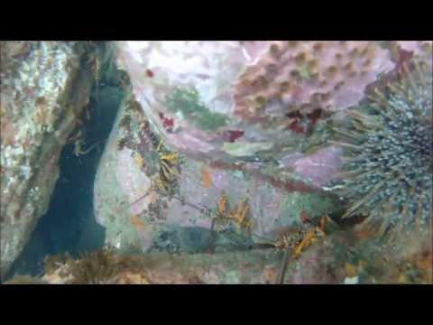 Crayfish slay freediving around Tairua,Coromandel,NZ