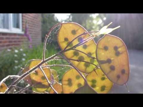 Moonflowers seeds - Fræ  -  Mánasjóður - Tunglblóm - Sumarblóm - Garðplanta
