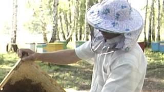 Колоссальная польза пчел. Перга - уникальное вещество!