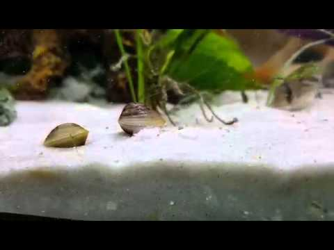 baby clams digging in the sand saved from a food store