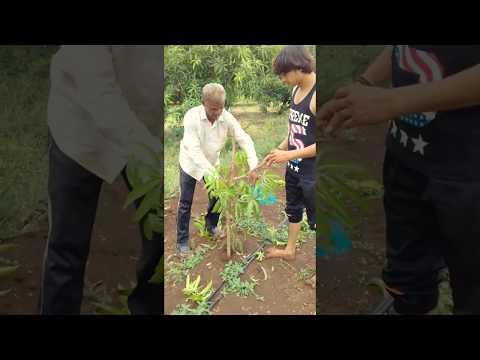 Mango pruning UHDP Gujarat