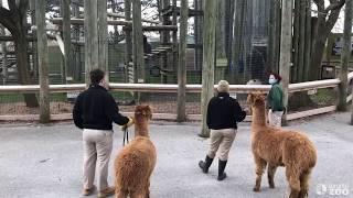 Toronto Zoo Gorillas Get Unexpected Visitor
