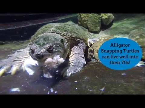 Keeper Cam - Alligator Snapping Turtle