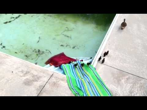 baby ducks get out of pool