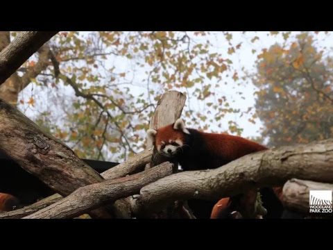 Election Day Red Panda Cute Cam