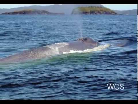 Saving Blue Whales | WCS