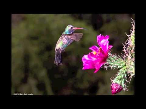 Broad-billed Hummingbird Nectaring, Madera Canyon, Arizona