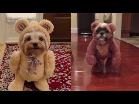 Dogs dressed in teddy bear costumes. Need we say more?