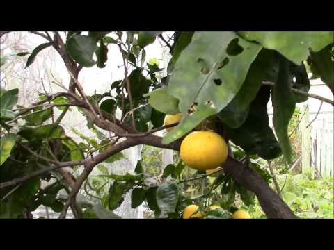 Grapefruit tree and wood chips