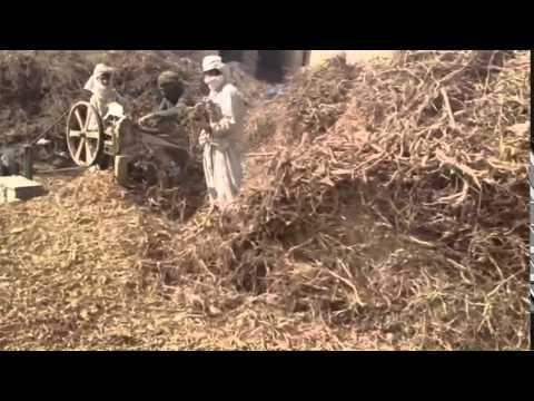 Russian Licorice Root Production   Tea Pursuit