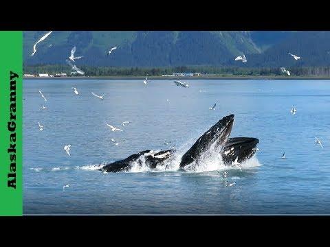 Humpback Whales Bubble Net Feeding Alaska