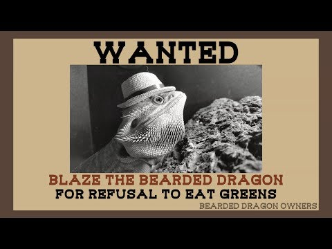 Bearded Dragon Owners // WANTED: Blaze the Bearded Dragon.