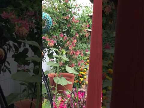 Hummingbird 2017-07-14
