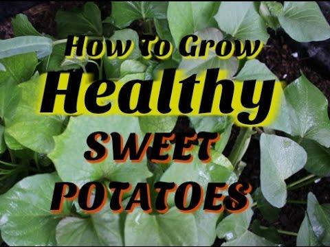 How to Grow HEALTHY Sweet Potato Slips