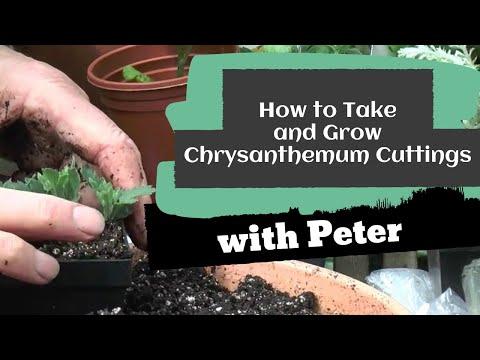 Taking and Growing Chrysanthemum Cuttings